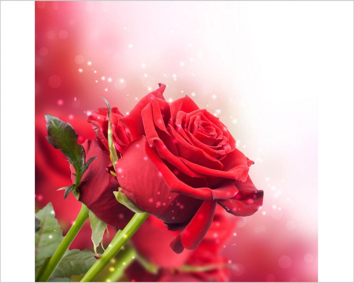 Candidi fiori bianchi fiori stampa su tela for Quadri con rose rosse