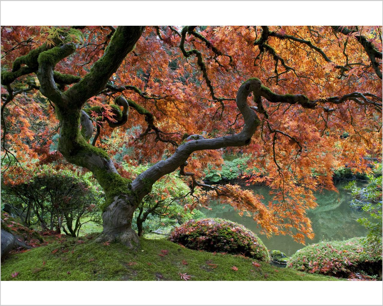 ACERO GIAPPONESE – Natura – Stampa Su Tela  #9A5D31 1280 1024 Dimensione Minima Sala Da Pranzo