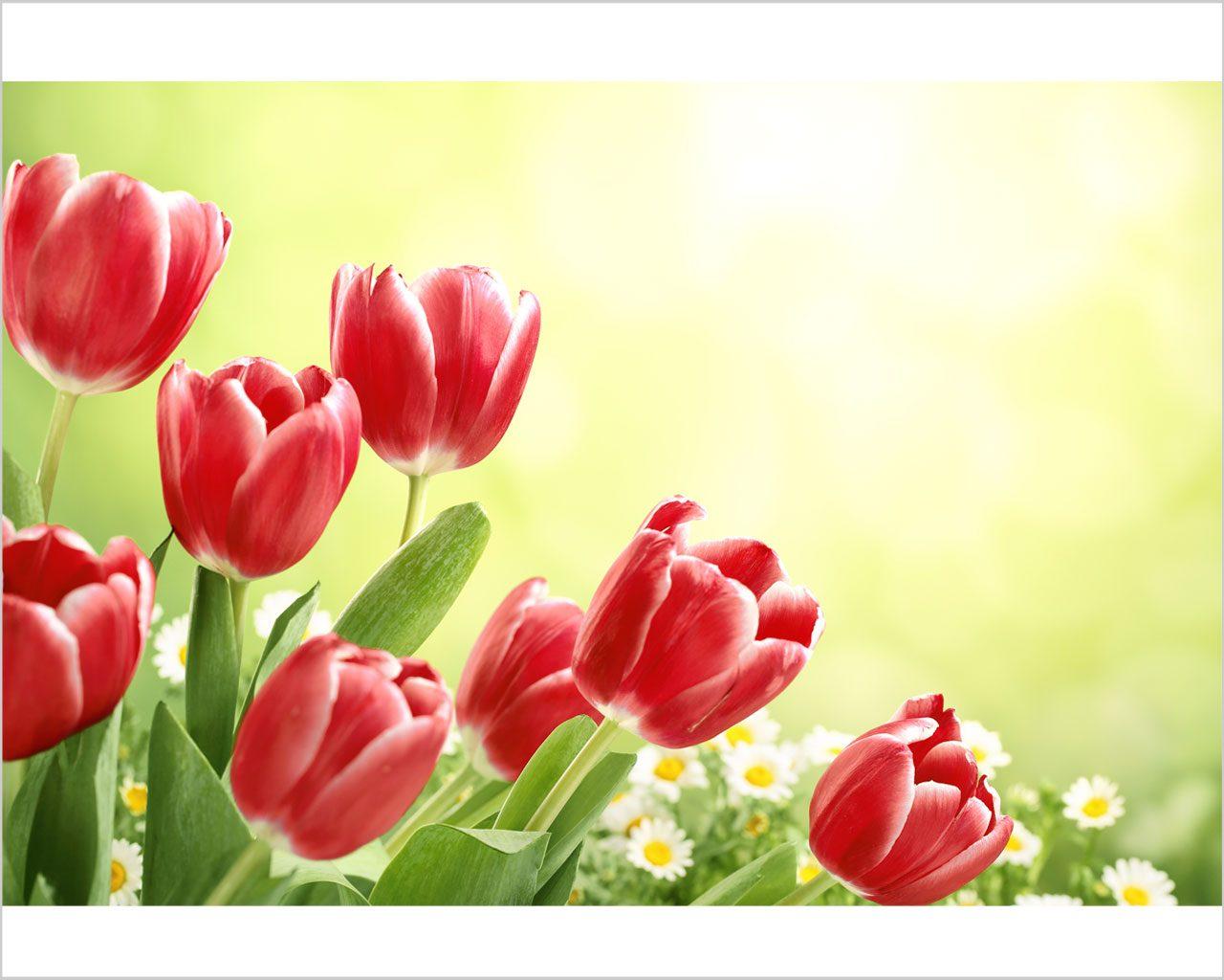 Tulipani rossi al vento fiori stampa su tela for Quadri astratti rossi